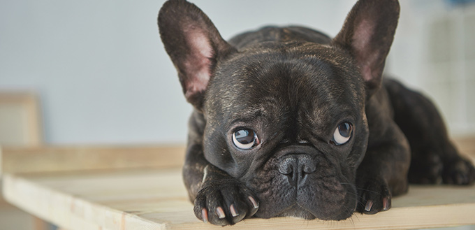 sick french bulldog lying at home