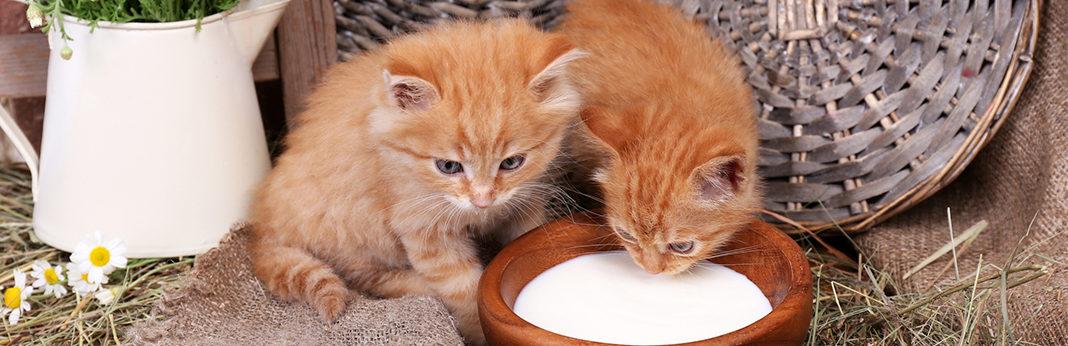 why do cats like milk