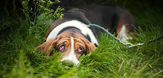 Basset hound lying in the grass
