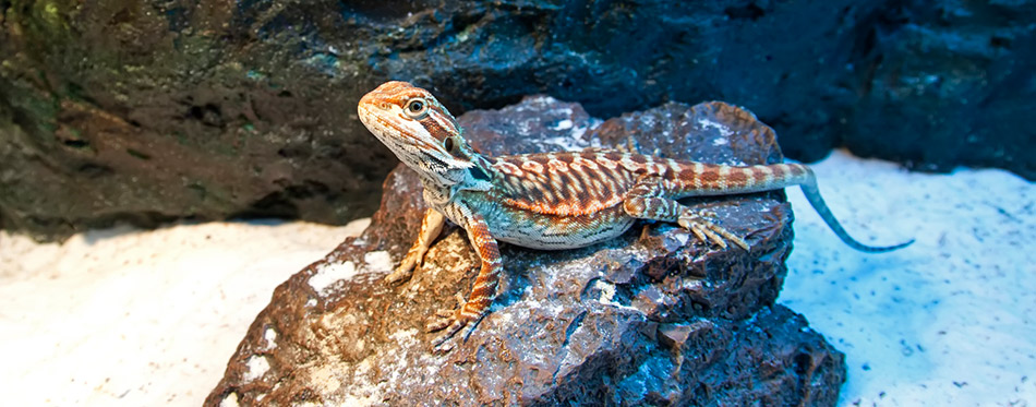 Bearded Dragon on the rock