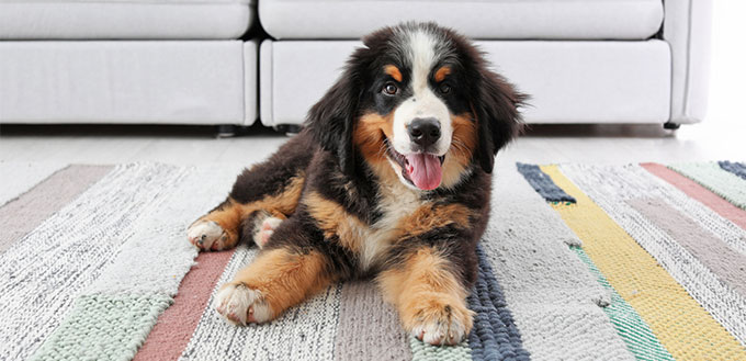 Bernese Mountain Dog puppy lying on the carpet