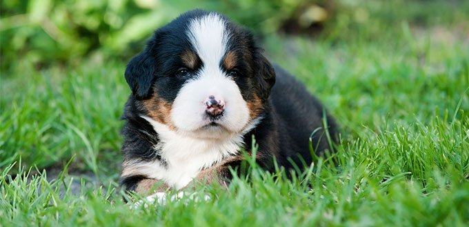 Bernese Mountain Dog puppy on the grass