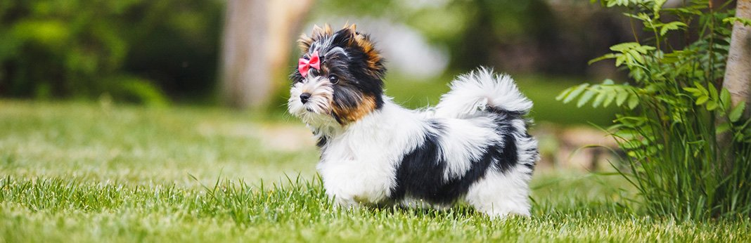 Biewer Terrier: Breed Information, Characteristics, and Facts