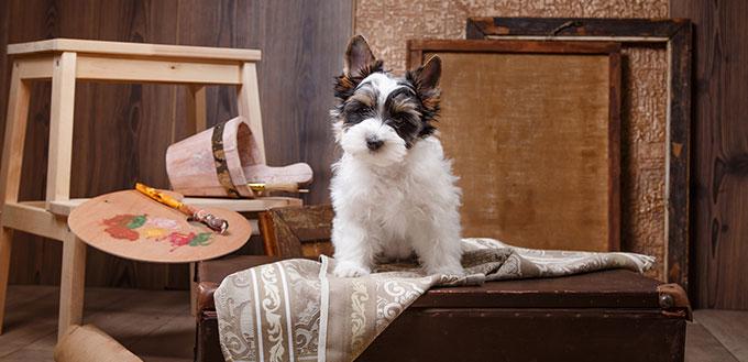 Biewer Yorkshire terrier Puppy