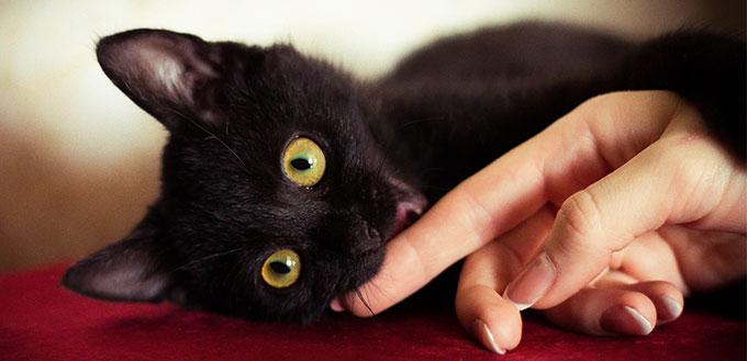 Gato preto morder a mão