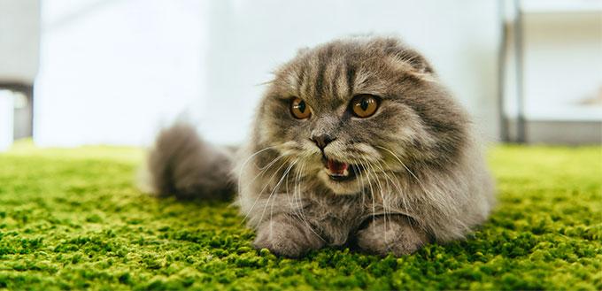Cat lying and yawning