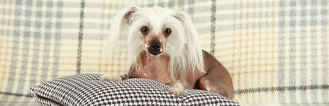 Chinese Crested Dog: Breed Information, Characteristics, and Facts