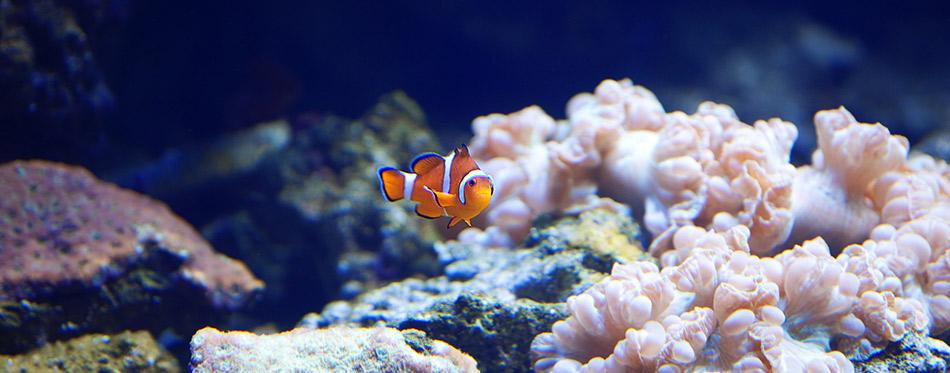 Clown fish swimming in a reef tank