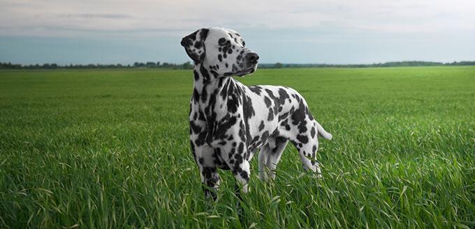 Dalmatian dog in the field