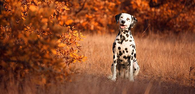 Dalmatian in a forest