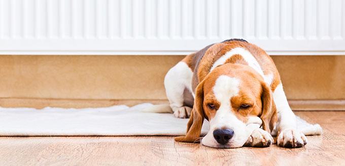 Dog lying near the radiator