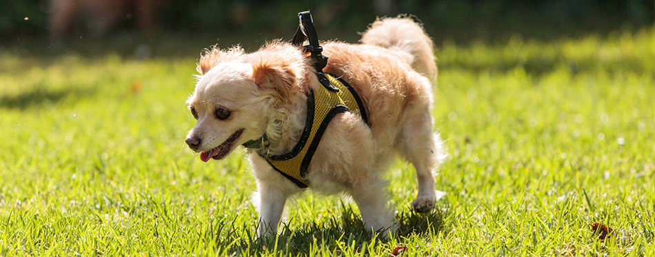 Dog with running harness
