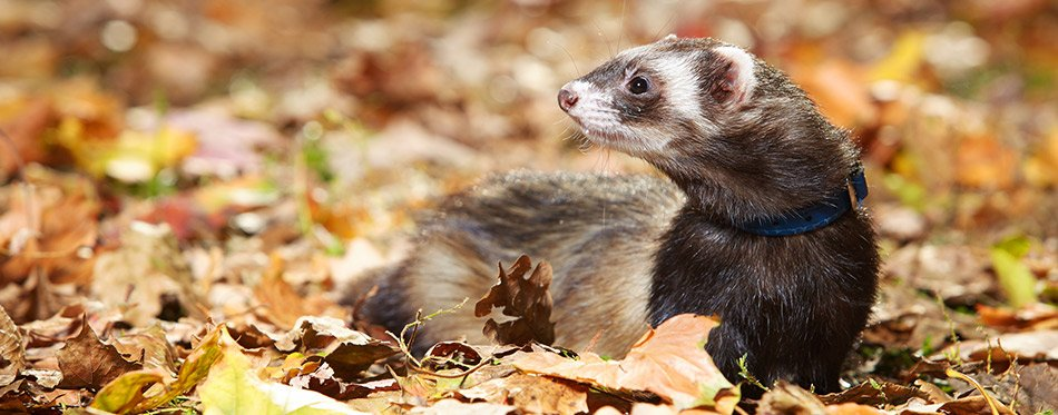 Ferret standing in the leaves