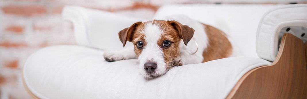 Fever-in-Dogs-Causes,-Symptoms,-&-Treatment