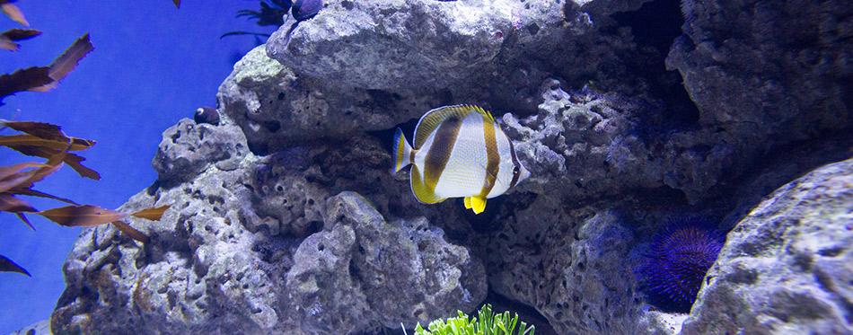 Fish swimming in a reef tank