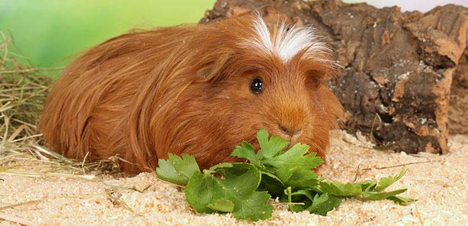 Guinea pig eating vegetables