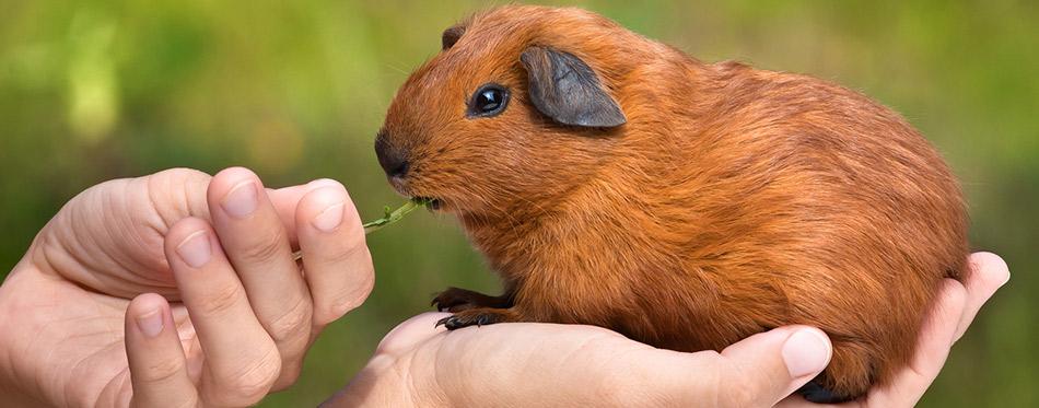 Hands feeding guinea pig
