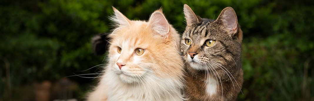 How-to-Mate-Cats-–-Cat-Mating-and-Reproduction-Guide