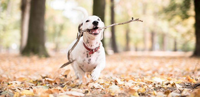 Jack Russell dog carrying wooden stick