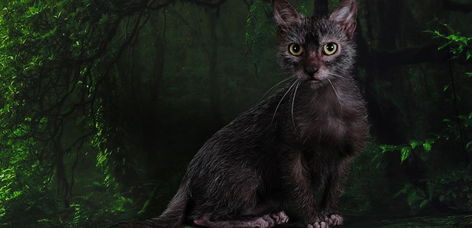 Lykoi cat sitting