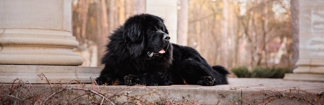 Newfoundland Dog: Breed Information, Characteristics, and Facts