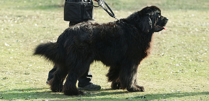 Newfoundland dog on a leash