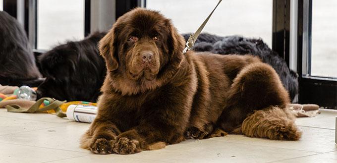 Newfoundland dog sitting