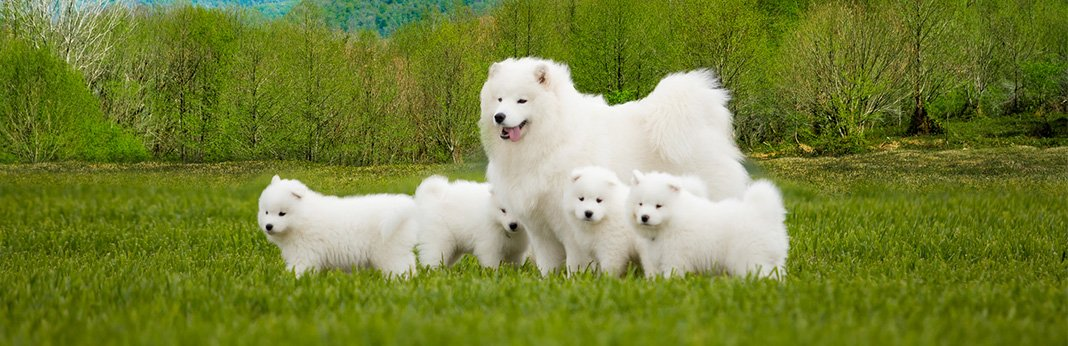 Samoyed Dog: Breed Information, Characteristics, and Facts