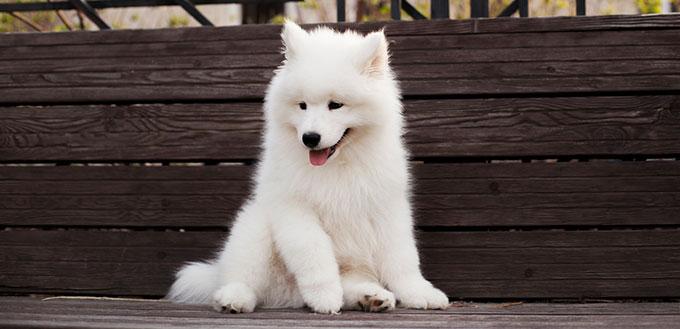 Samoyed puppy sitting
