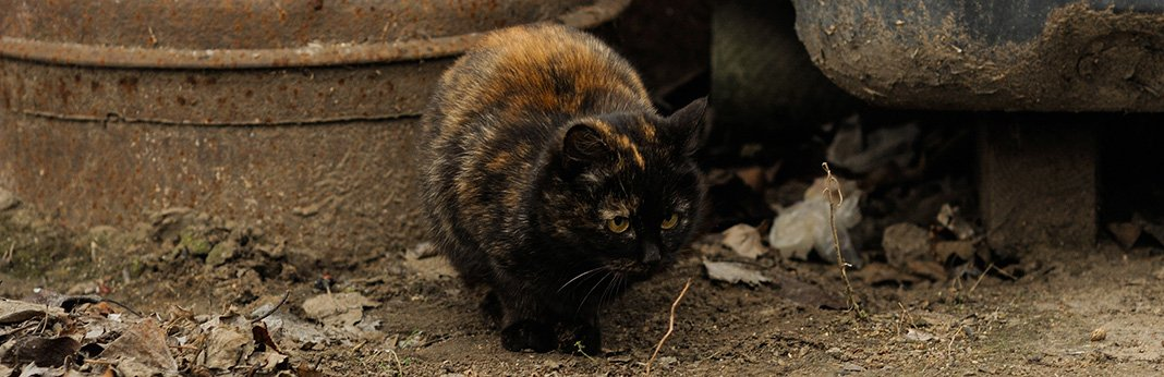 Tortoiseshell Cat: Breed Information, Characteristics, and Facts