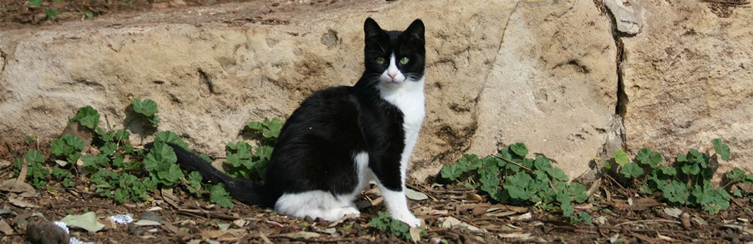 Tuxedo Cats: Breed Information, Characteristics, and Facts