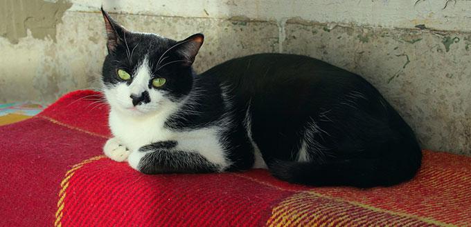 Tuxedo cat lying