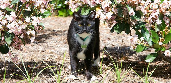 Tuxedo cat walking through the bushes