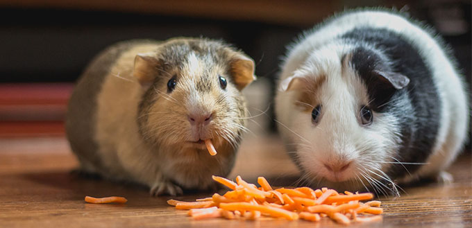 Two Guinea Pig eating