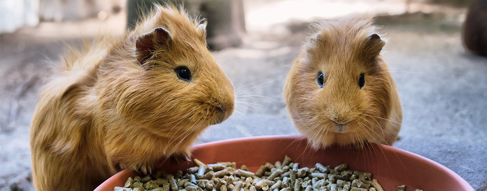 Two guinea pigs are having meal