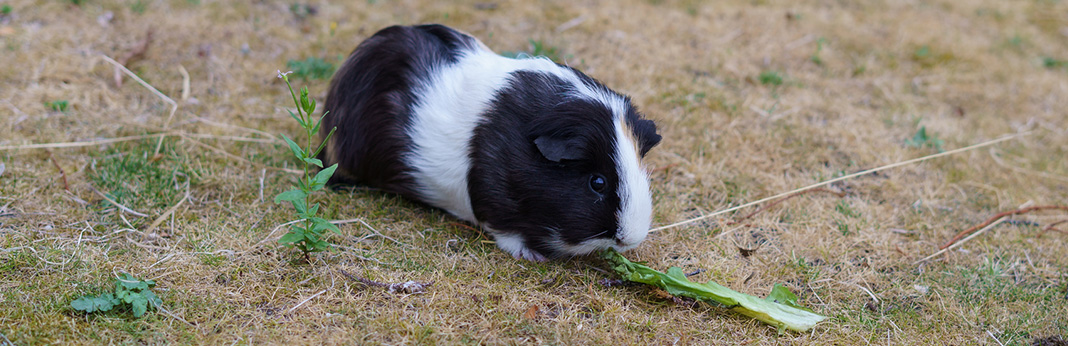 What Do Guinea Pigs Eat?