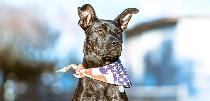 A five month old puppy with black fur and slight brindle wearing an American flag bandana sits patiently.