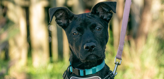 A puppy with black fur and slight brindle sits for the camera wearing a harness.