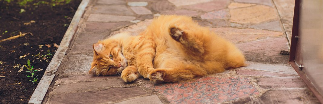 American Bobtail Cat: Breed Information, Characteristics, and Facts