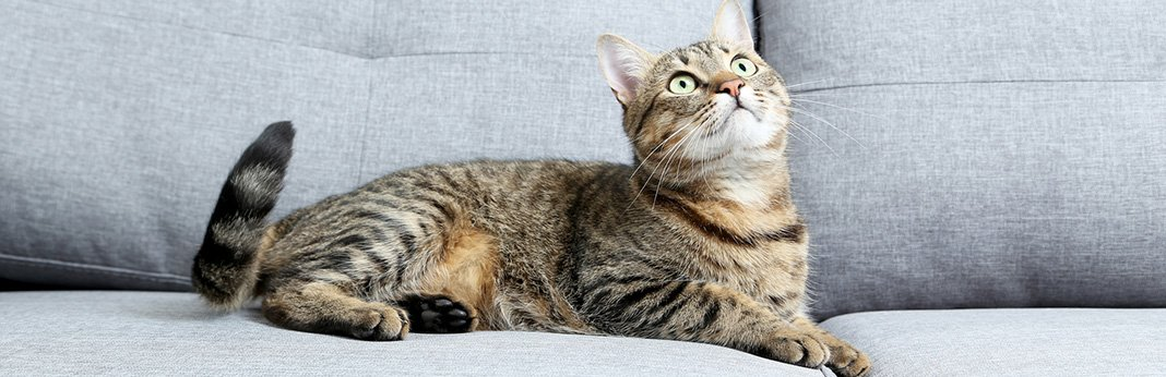 American Wirehair Cat : Breed Information, Characteristics, and Facts