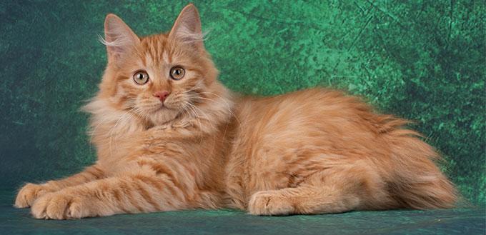 American bobtail cat lying