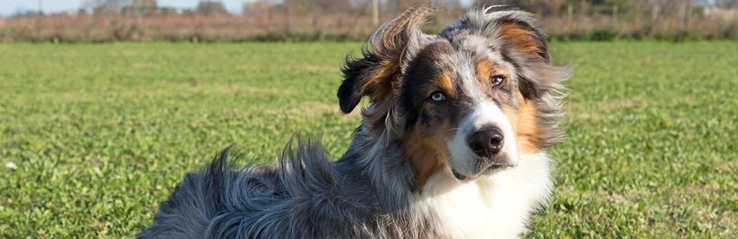 Australian Shepherd Mixes - X Aussie Mutts You Will Love