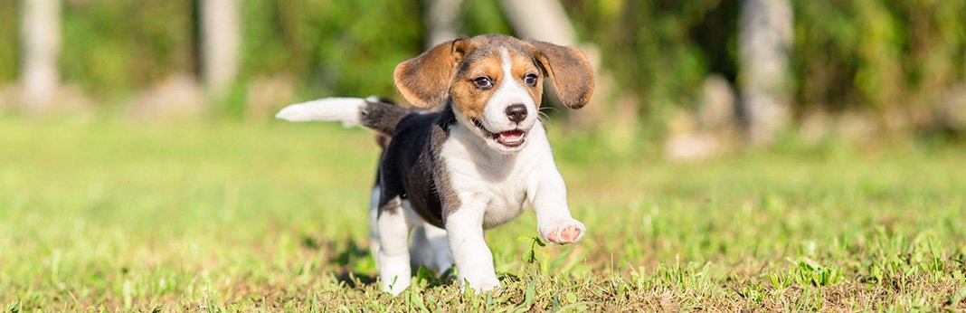 Beagle Mixes - 7 Adorable Beagle Mixed Breeds