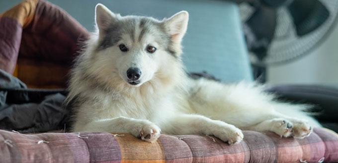 Beautiful Siberian husky mix
