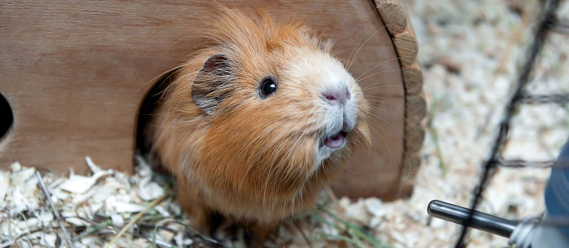 Best-Bedding-for-Guinea-Pigs