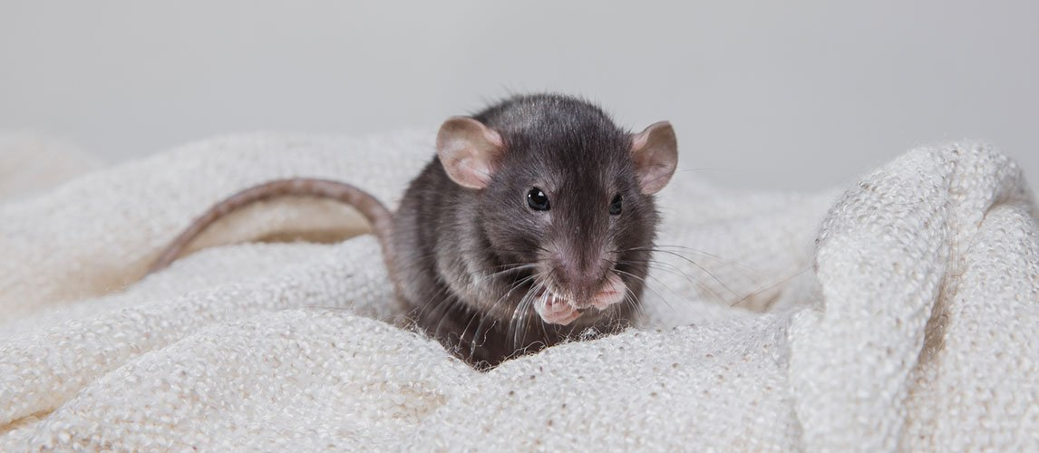 Best-Bedding-for-Rats-1