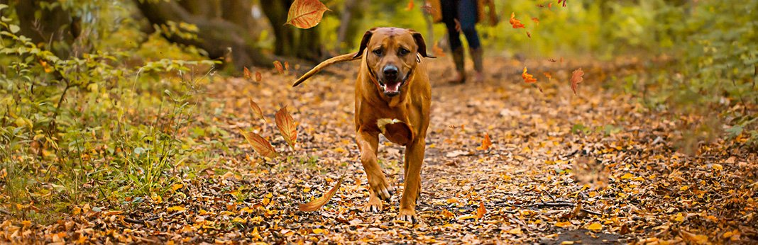 Black Mouth Cur: Breed Information, Characteristics, and Facts