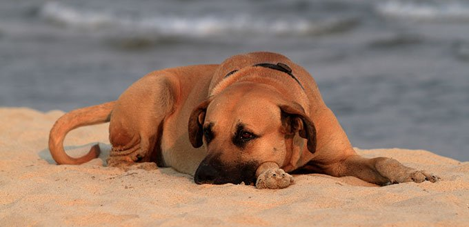 Black Mouth Cur on the beach