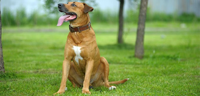 Black Mouth Cur on the grass