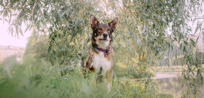 Border Collie German Shepherd Mix